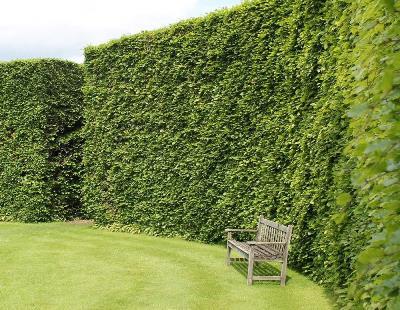 beech-hedge-plants-p1-4281_zoom